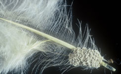 Lice eggs at the base of the feather shaft.