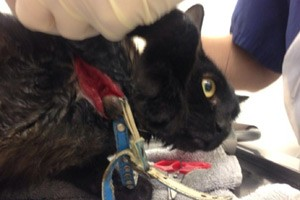 The cat's injuries will take more than a year to heal. Photo credit: RSPCA