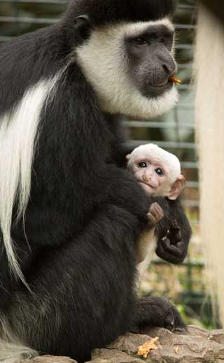 The black and white colobus monkey was born on 14 December. IMAGE: © Daniel Sprawson/ZSL.