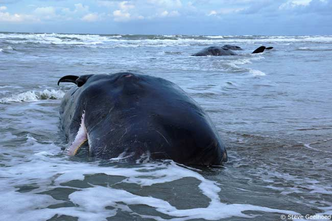 Sperm-Whale-Mass-Stranding-copy-steve-geelhoed