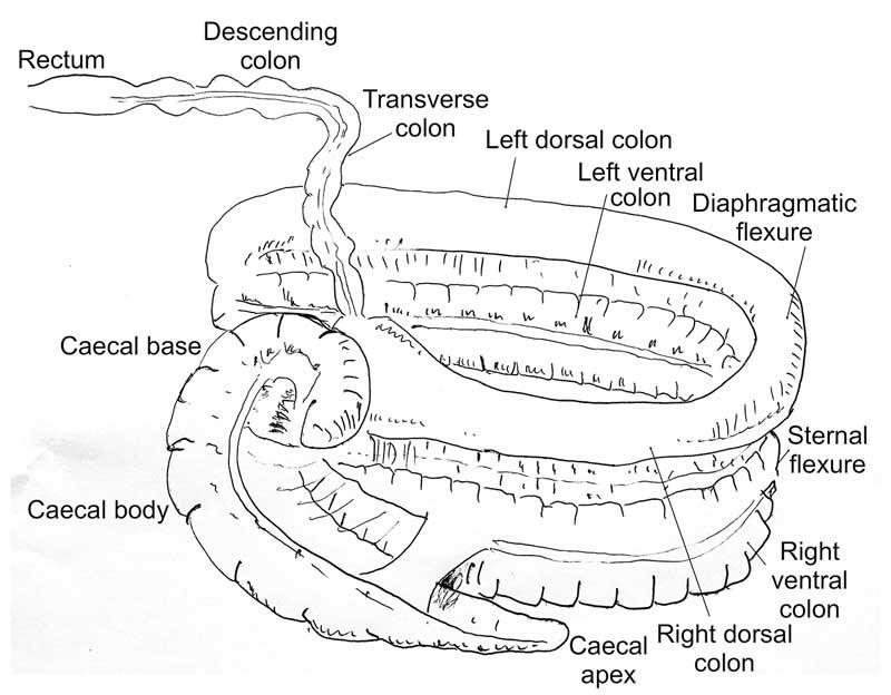 equine large colon volvulus presents surgical challenge