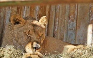 The welfare of the lioness and her cubs has been a top priority for WVS.