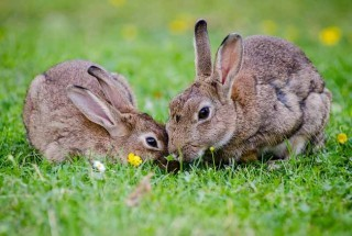 """Buddies as bunnies"" is the theme for this year's Rabbit Awareness Week."