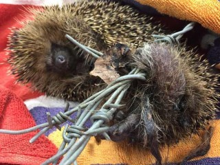 The RSPCA thinks the hedgehog was trapped for days before it was found by a member of the public.
