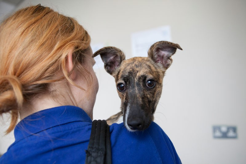 It is hoped the compulsory dog microchipping law will improve rehoming for whippets.
