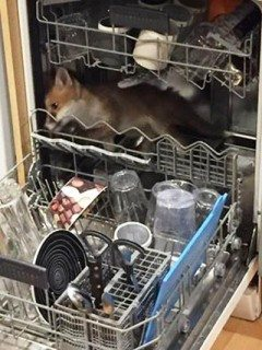 Fox in dishwasher.