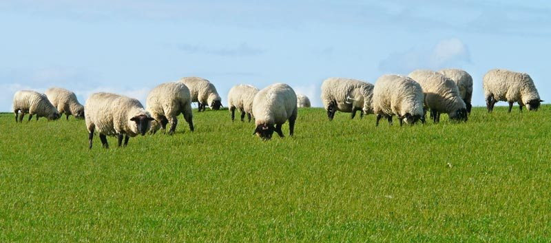 Larval contamination can be avoided by moving lambs to silage aftermath not grazed by sheep this year and, preferably, to pasture not grazed by sheep last year.