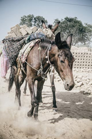 A working donkey in the developing world. Image: The Brooke/Freya Dowson.