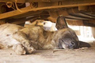 Stray dog in Sierra Leone.