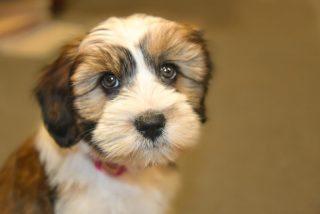 Tibet terrier.