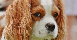 Myxomatous mitral valve disease is common in cavalier King Charles spaniels.