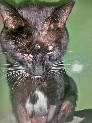 A cat showing some of the clinical signs of feline cowpox.