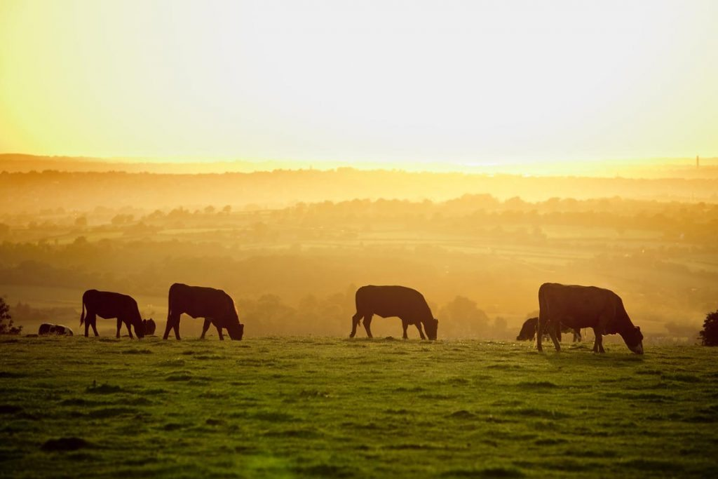 Cattle at sunset.