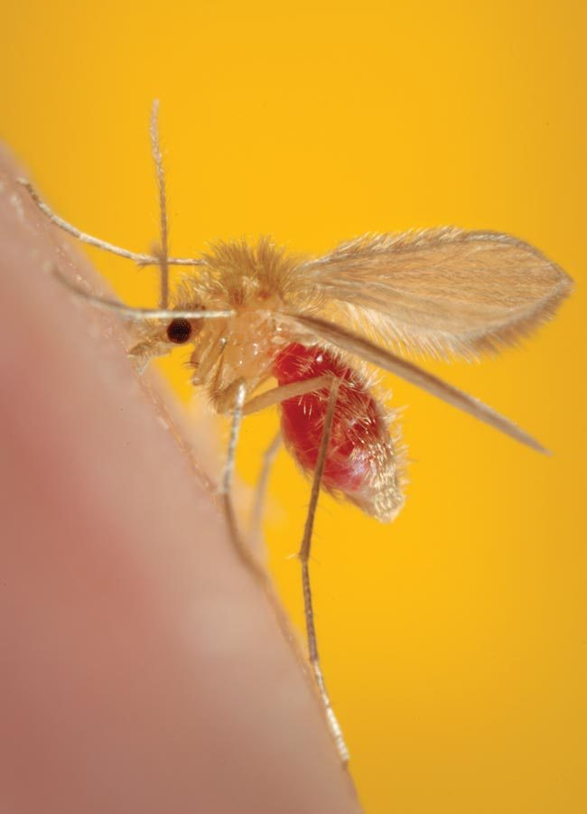 A Phlebotomus species sandfly, a vector of leishmaniasis. Image: CDC/Frank Hadley Collins, director, center for global health and infectious diseases, University of Notre Dame.
