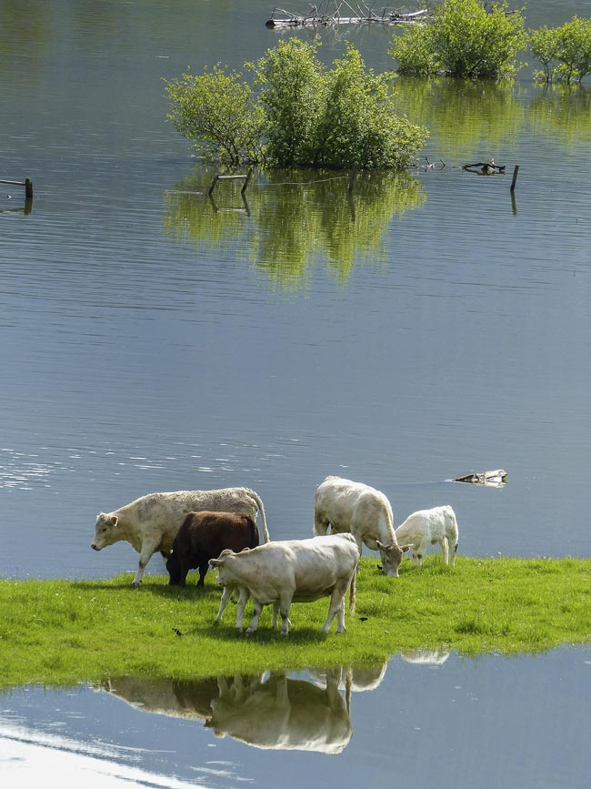 cows-flood_358963_1920