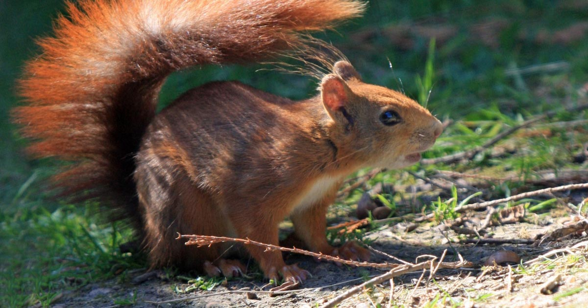 Medieval link to leprosy in red squirrels | Vet Times