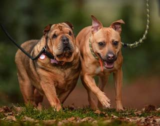 Shar Pei Ruby and Staffie-cross Ellie are two residents of Cheshire Dogs' Home, one of the good causes being supported by Willows Pawsome Pets.