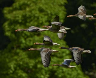 Scientists feel infected birds may already be present in the UK.