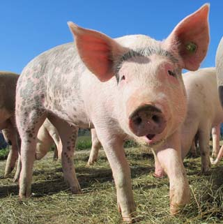 Before a final decision on zinc oxide, the impact on the EU pig farming industry will be assessed. The UK National Pig Association has said it will fight a ban on the use of zinc oxide in animal feed.