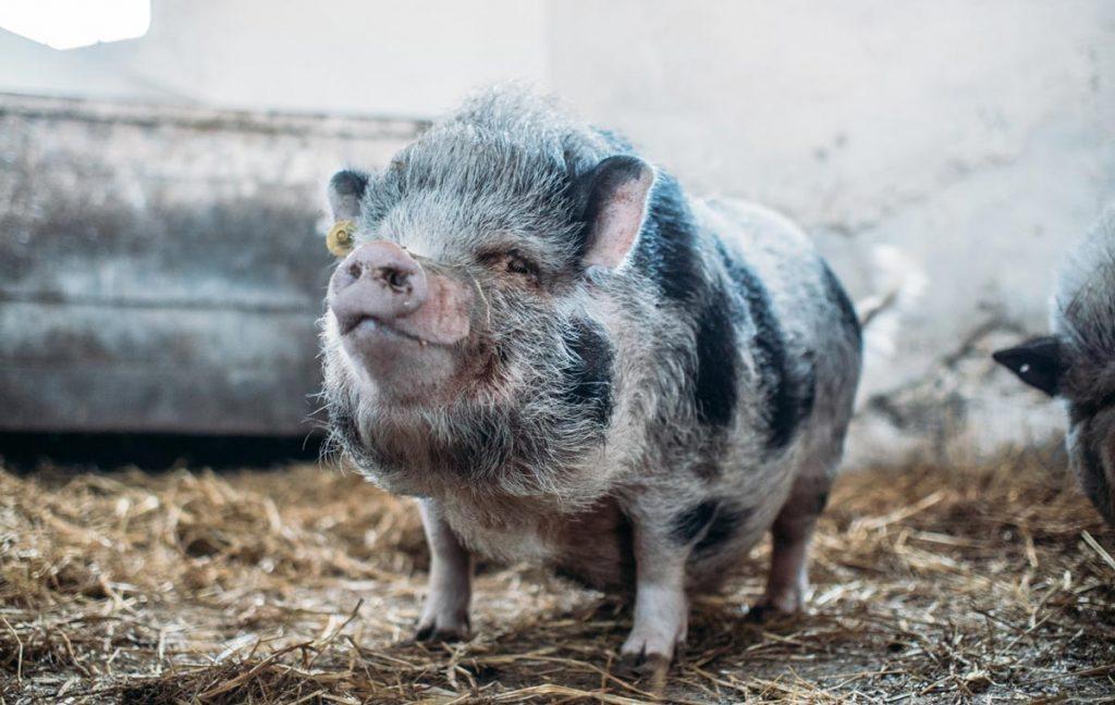 Pot-bellied pig.