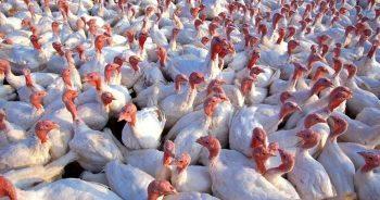 turkeys_pubdom-139713