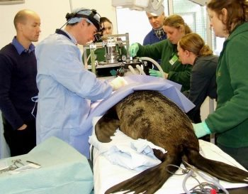 Veterinary ophthalmologist Jim Carter led the operation, which took place at Paignton Zoo.
