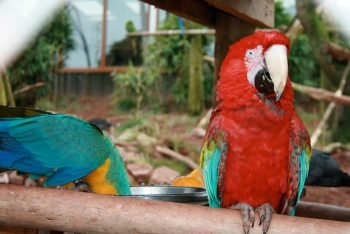 CC BY 2.0, A Blue-and-yellow Macaw (left) and a Green-winged Macaw (right) at South Lakes Wild Animal Park, England. Photo by Glen Bowman - originally posted to Flickr as 18:02:2009 14:34:56, CC BY 2.0, Link
