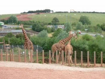 Giraffes at South Lakes Wild Animal Park near Barrow-in-Furness. Photo by The Shaun Woods, (CC BY 2.0).
