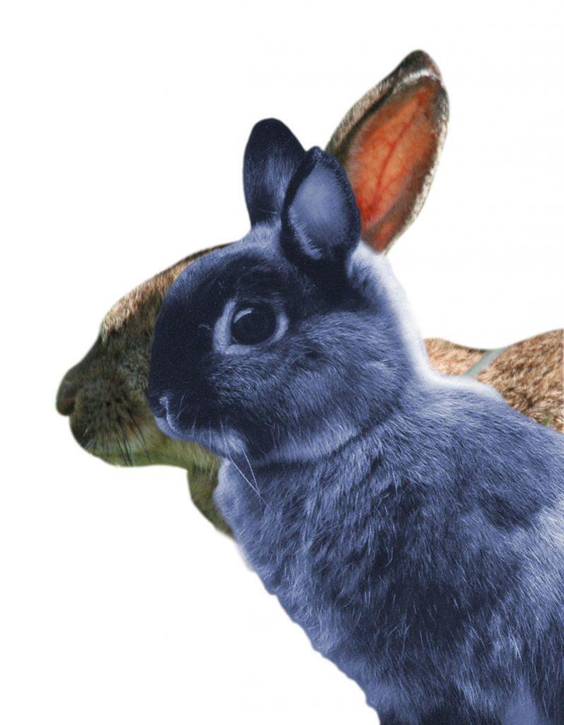Brachy rabbit