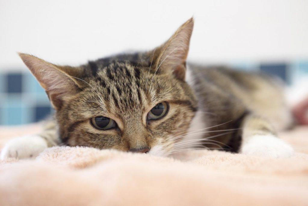 Sedated cat
