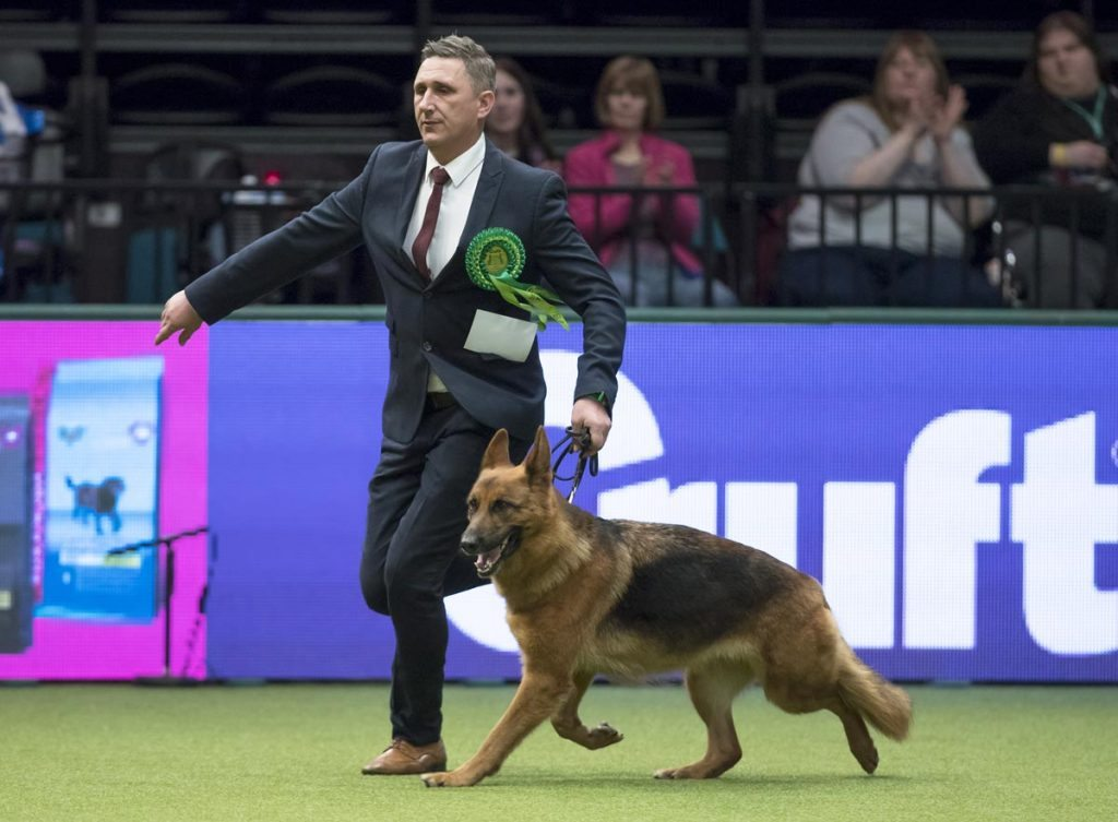 GSD at Crufts