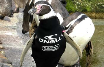 Ralph, who suffers from a condition which prevents his feathers from growing back properly after a moult, wearing his new wetsuit.
