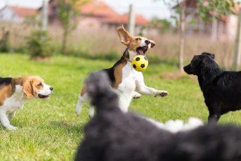 dogs-at-play_Fotolia_Lunja