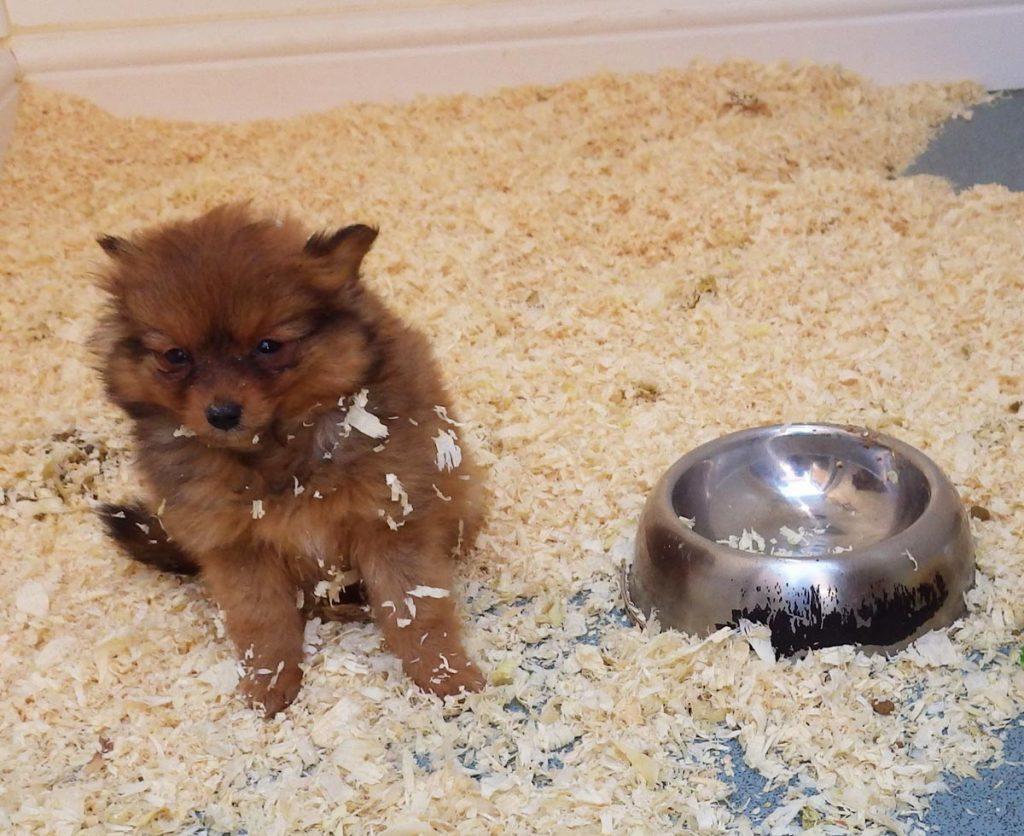 RSPCA Pomeranian