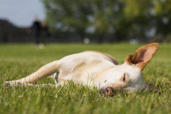 Big ear dog on grass