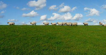 Sheep_field_horizon_MaxPixel_freegreatpicture