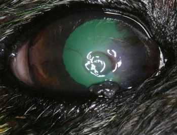 Ophthalmic circumstances in canines