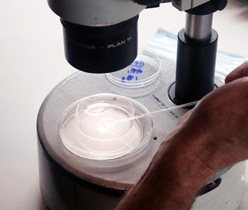 Embryo sorting.