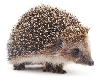 Spontaneous mammary tumours: half three – hamsters and hedgehogs