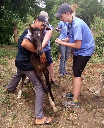 Student Jessica van Noppen treats a foal at an outreach clinic for working equines.