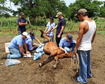 Lester Tapia supervises student Ethan LaVan in equine castration.