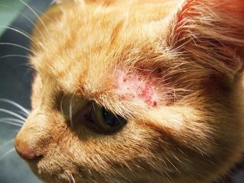 Miliary dermatitis is a common clinical lesion associated with hypersensitivities in the cat.
