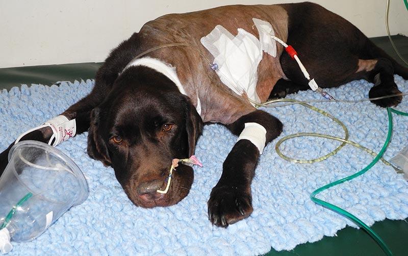 Labrador makes three,400-mile journey to obtain life-saving surgical procedure