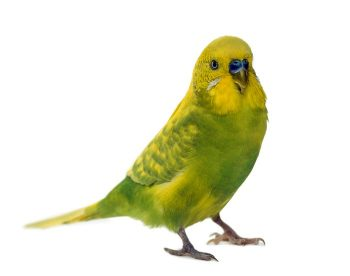 Prognosis and therapy of Knemidokoptes pilae an infection in a budgerigar