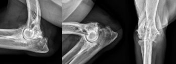Obstacles to remedy of canine OA – half 1
