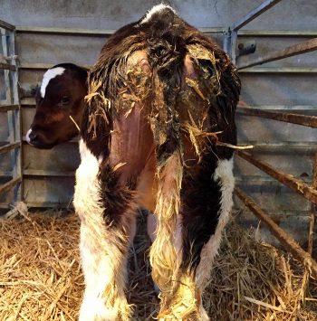 Diagnosing and treating calf scour