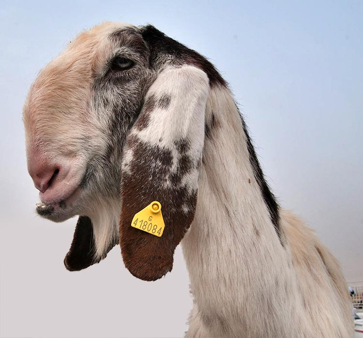 Figure 1b. Najdi goat, considered beautiful in much of the Middle East. Image © Alexey Sergeev