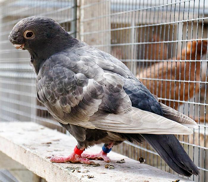 Figure 1c. An African owl pigeon, one of several domesticated pigeon breeds with shortened beaks and somewhat flattened faces. Image © Omar Runolfsson, CC BY-SA 4.0
