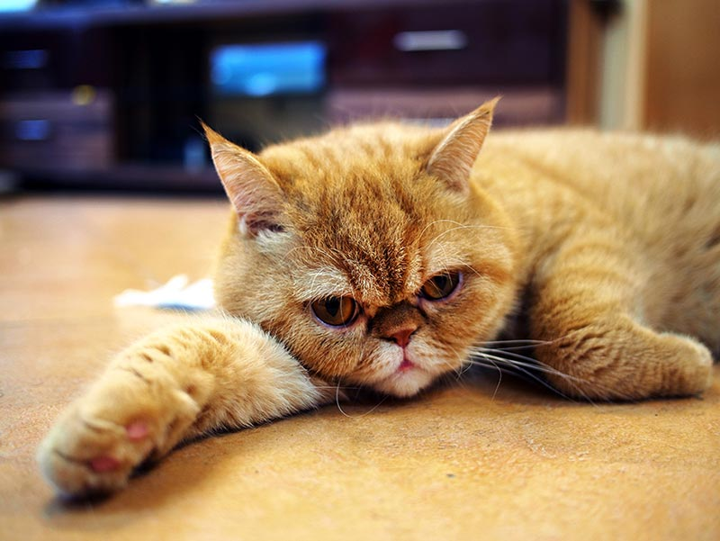 Figure 1a. Brachycephaly has been bred into many species. This photo shows an exotic shorthair cat bred as a short-haired version of the Persian, an Iranian breed modified by further shortening of the face by European breeders. Image © Melv L Macasr, CC BY-SA 4.0