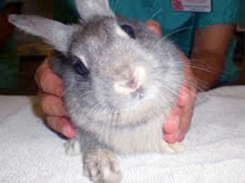 Replace on analysis of E cuniculi an infection in home rabbits
